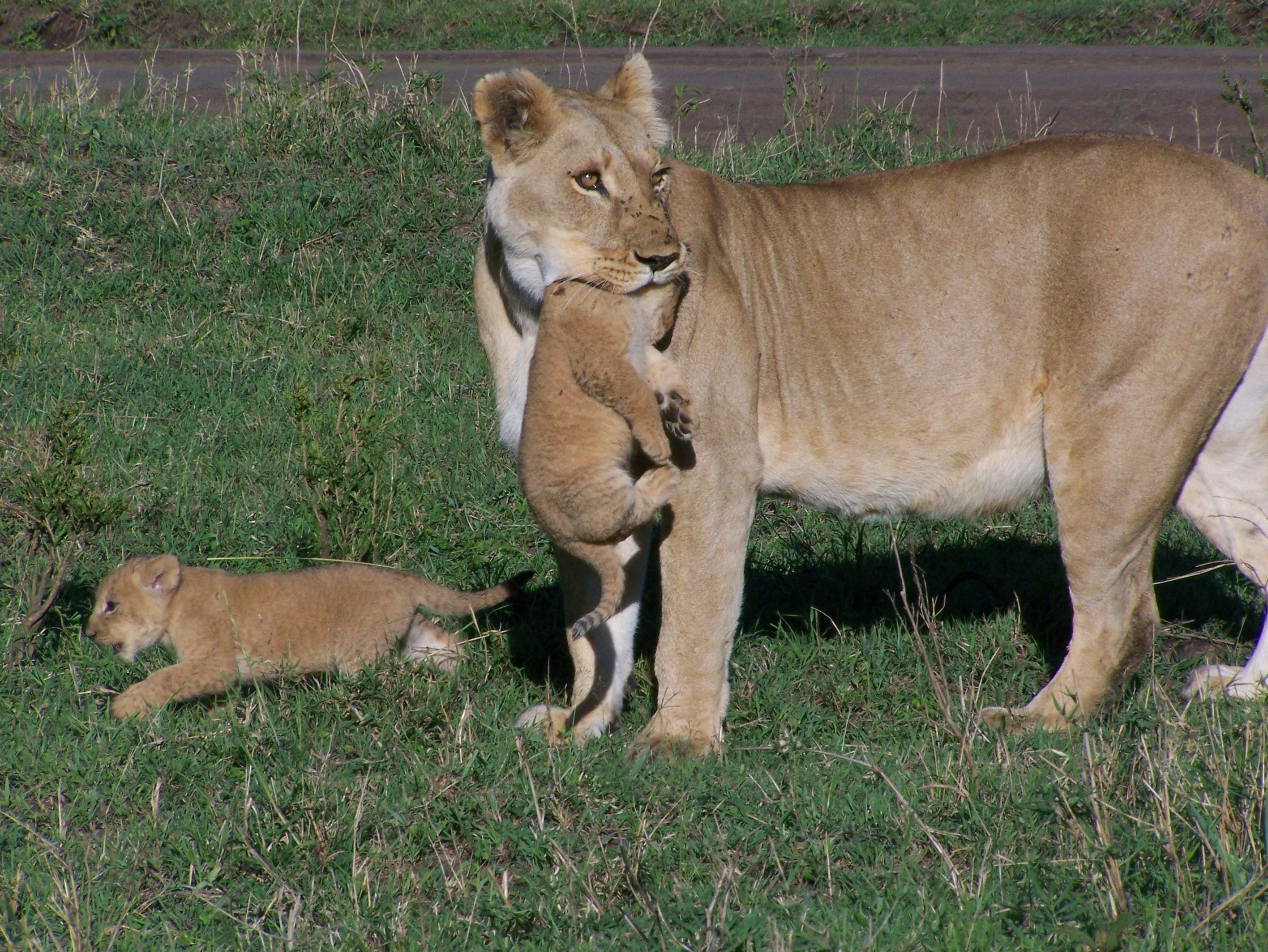 765 Lioness with small cubs just outside Governors