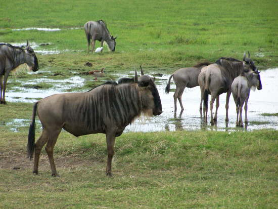 Wildebeest  (Amboseli , June 2008)